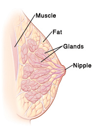 Cross section side view of breast showing nipple, glands, fat, and chest muscle.