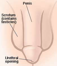 Front view of male genitals showing penis, scrotum, urethral openings