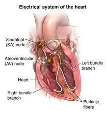 Front view of heart showing electrical system.