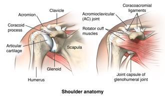 Anatomy of the shoulder showing the clavicle, acromion, the coracoid process, the articular cartilage, the humerus, the glenoid, the scalula, the coracromial ligaments, the acromioclavicular joint, rotator cuff muscles, and the joint capsule of the glenohumeral joint.